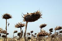 Girasoles secos. INTEF